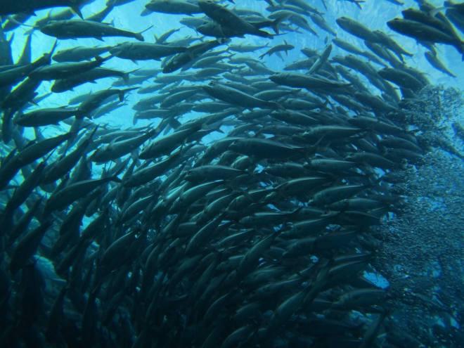 A tornado school of fish!