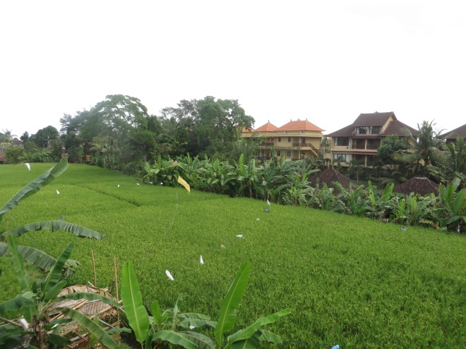 Rice field behind our guesthouse