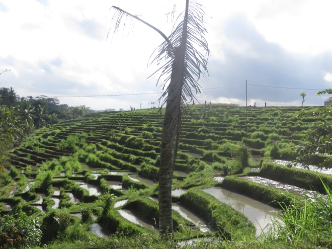 Rice terraces covered in water