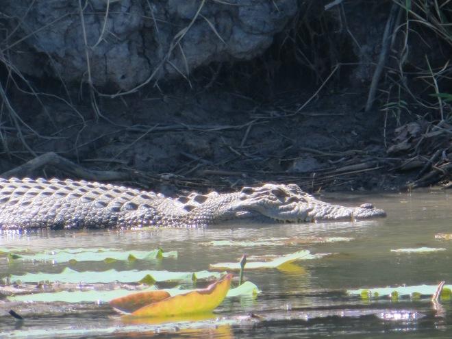 Sneaky croc