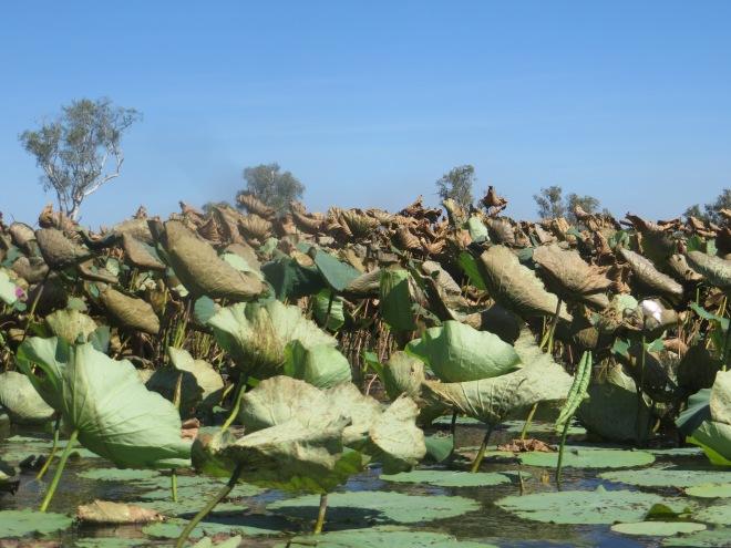 Water lilies where the crocodiles lurk