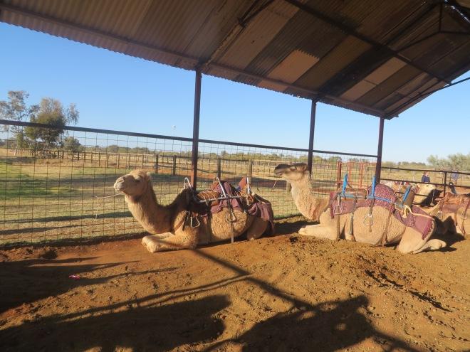 Australia now has 20,000 wild camels!