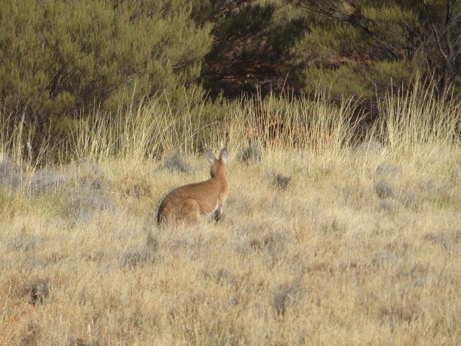 A wild kangaroo on the trail