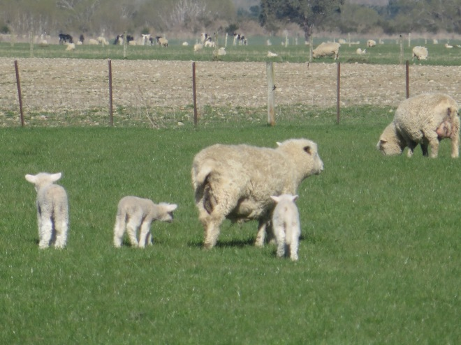 Baby lambs just born with their mother...we saw them off the highway