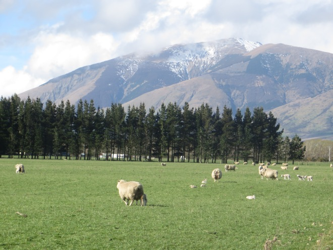 Mountains and sheep= New Zealand